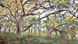"Most of these trees and thousands more are to be cleared on the former Scout land and within the Royal National Park for a proposed ""recreation camp"". Click to enlarge."