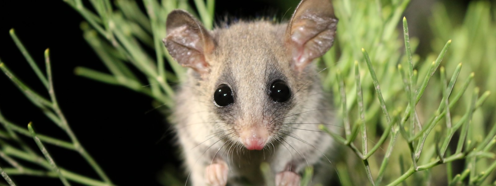 Eastern Pygmy possum habitat to be cleared for eco-resort in the Royal National Park!