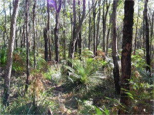 Forest of Bloodwoods growing in rare, possibly unique, malle form on which sugar gliders extensively feed.