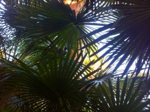 cabbage tree palms, Spring Gully, Bundeena