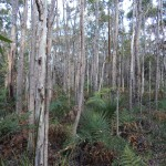 Bloodwood woodland with thousands of trees growing from large underground lignotubers. This woodland may be thousands of years old!