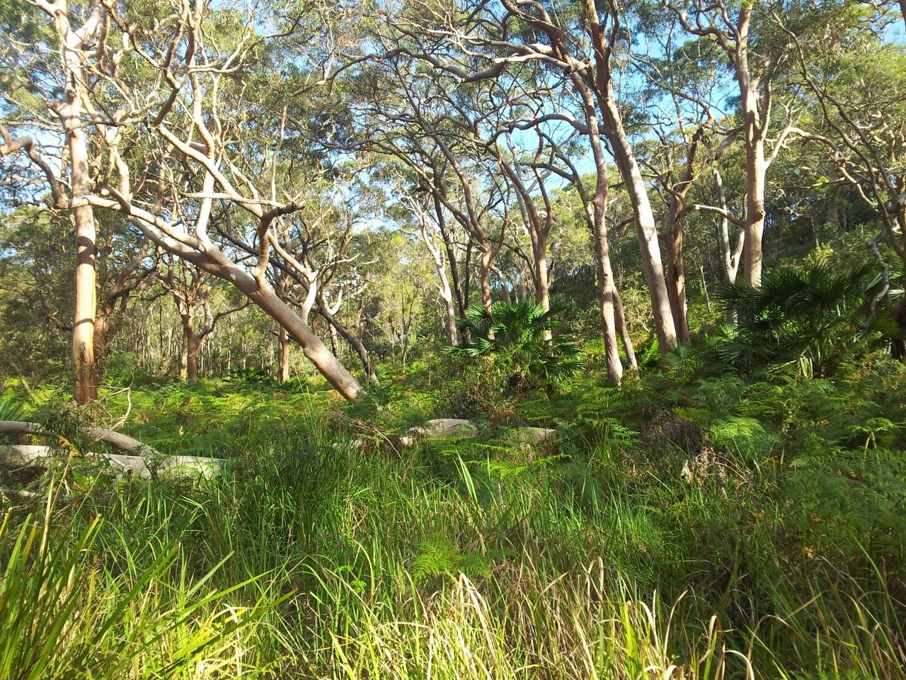 Angophora woodland, Spring Gully, Bundeena